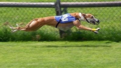 Greyhound Striding